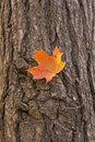 Maple leaf on tree Stock Photo