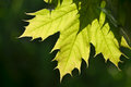 Maple leaf on a tree close up Royalty Free Stock Images