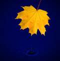 Maple leaf with water drops Royalty Free Stock Photo