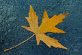 Maple leaf withered fallen yellow photographed in a gloomy rainy fall day on the wet glass car Stock Photography