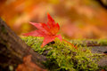 Maple leave Royalty Free Stock Photo
