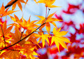 Maple leave in autumn Royalty Free Stock Photo