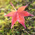 Maple leave on green ground Royalty Free Stock Photo
