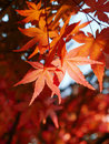 Maple leaves Stock Photo
