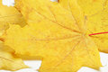 Maple leaves. Royalty Free Stock Image