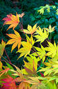 Maple Leaves Royalty Free Stock Images