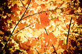 Maple leaves autumn background sunlight on the thicket Stock Images
