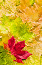Maple leaves in beautiful autumn colours Stock Photography