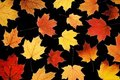 Maple leaves on black Royalty Free Stock Image