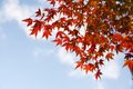 Maple leaves and blue sky Royalty Free Stock Images