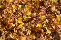 Maple leaves carpet Royalty Free Stock Photo