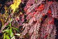 Maple leaves changing color, Autumn seasons at Tokyo in Japan Royalty Free Stock Photo