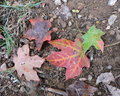 Maple Leaves Changing Color