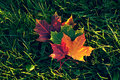 Maple leaves of different colours on the grass autumn lie green Stock Photography