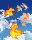 Maple leaves falling against a blue sky Royalty Free Stock Photos