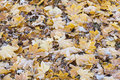 Maple leaves on the ground in autumn Stock Photos