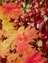 Maple Leaves Mixed Fall Colors Background Royalty Free Stock Photo
