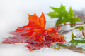Maple leaves in rain. Stock Photo