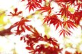 Maple leaves in the spring Royalty Free Stock Photo