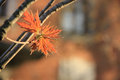 Maple leaves in spring Royalty Free Stock Photo
