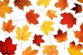 Maple leaves on white Royalty Free Stock Photo