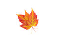 Maple leaves yellow and red closeup Royalty Free Stock Image