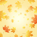 Maple leaves yellow in sunshine Royalty Free Stock Images