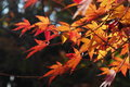 Maple it is the photograph which i photographed in japan in autumn Royalty Free Stock Photo