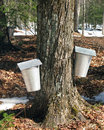 Maple sap buckets Stock Photography