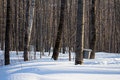 Maple sugar tap in a winter forest Stock Photos