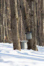 Maple sugar taps in snow and buckets late winter Stock Photos