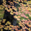 Maple tree Royalty Free Stock Photography