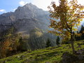 Maple tree in Alpine landscape at fall Royalty Free Stock Photo