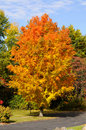 Maple Tree Autumn Foliage