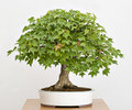 Maple tree bonsai Royalty Free Stock Photo