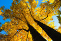 Maple tree canopy of an autumnal colored Stock Photography
