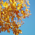 Maple tree in Fall color. Stock Image