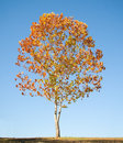 Maple Tree with Fall Foliage Royalty Free Stock Photo