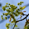 Maple Tree Flowers in Early Spring Royalty Free Stock Photo