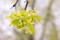 Maple Tree Flowers and Leaves Royalty Free Stock Photo