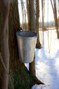 Maple tree has been tapped spring to get sap making maple syrup Stock Photography