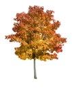 Maple tree isolated Royalty Free Stock Photo