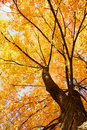 Maple tree landscapes Royalty Free Stock Images