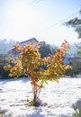 Maple tree in late autumn small surrounded by snow Royalty Free Stock Images