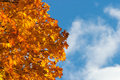 Maple tree leaves in autumn color Stock Image