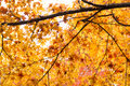 Maple tree leaves Royalty Free Stock Photo