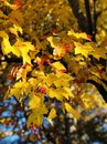 Maple Tree Leaves Changing Col...