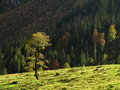 Alpine maple tree in sunlight at fall Royalty Free Stock Photo