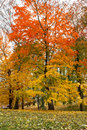 Maple tree in park in autumn Royalty Free Stock Photos