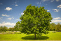 Maple tree in summer field Stock Images